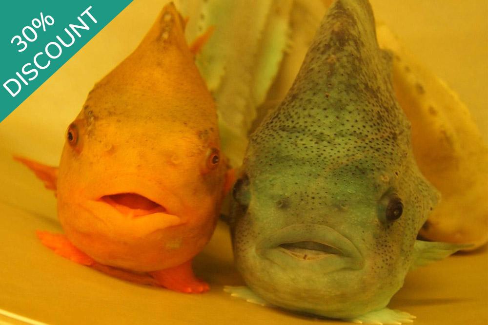 Cleaner Fish- FAI Academy