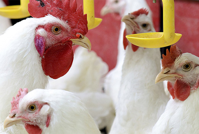 Abx Monitor for Poultry